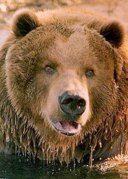 медведь Барт (I) (Bart the Bear ) - Биография и интересные ... брэд питт кинопоиск